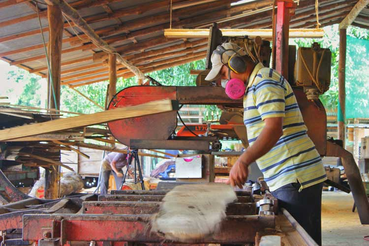 Harvested teak getting milled